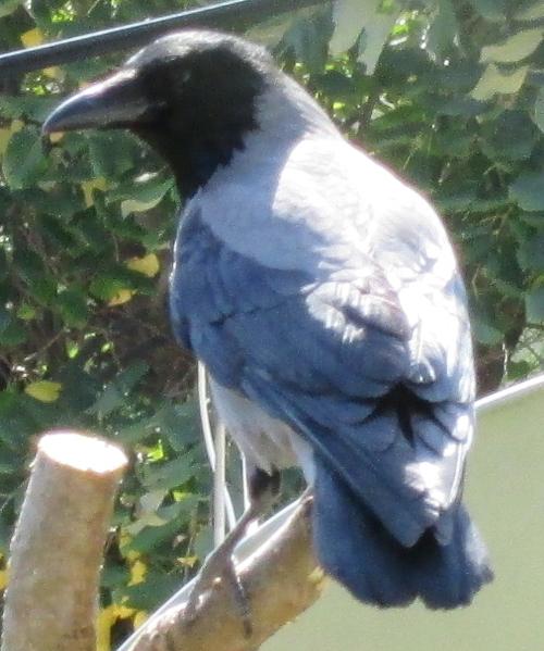 hooded crow 500x600